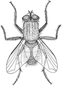 Ordinary housefly